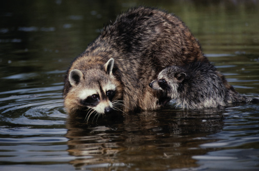 Raccoon「Raccoon (Procyon lotor) with young standing in water」:スマホ壁紙(10)