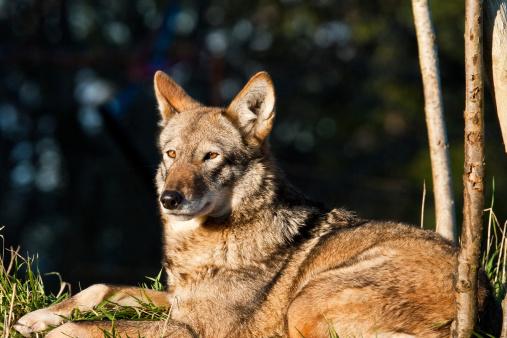 Animals Hunting「Female Red Wolf Resting」:スマホ壁紙(14)