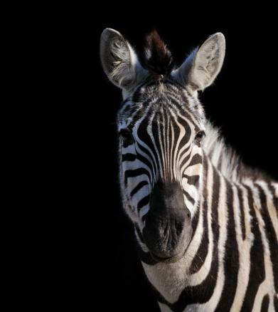 Animal Wildlife「zebra isolated on black XXL」:スマホ壁紙(16)