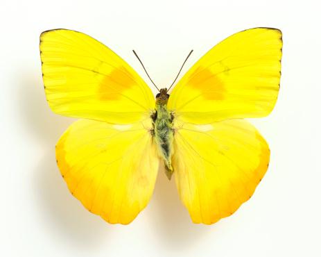 昆虫「黄色の蝶」:スマホ壁紙(14)