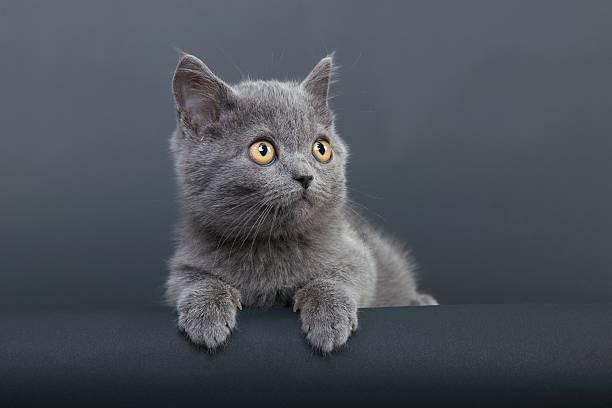 little grey cat:スマホ壁紙(壁紙.com)