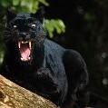 Panther壁紙の画像(壁紙.com)