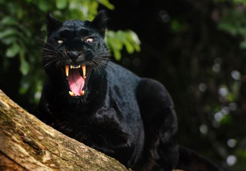 Animals Hunting「growling black panther」:スマホ壁紙(9)