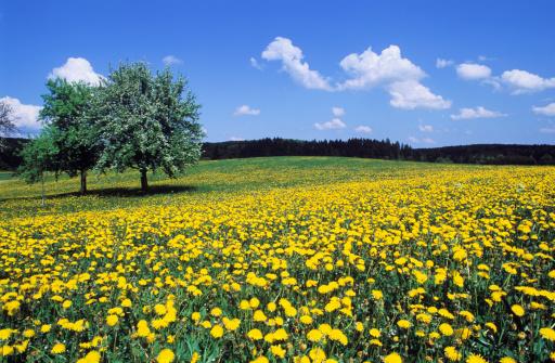 たんぽぽ「Meadow of flowers」:スマホ壁紙(19)