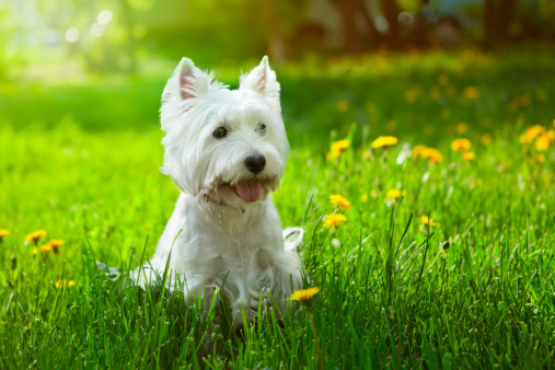 Animal Themes「Small Westie in a field of yellow flowers」:スマホ壁紙(14)