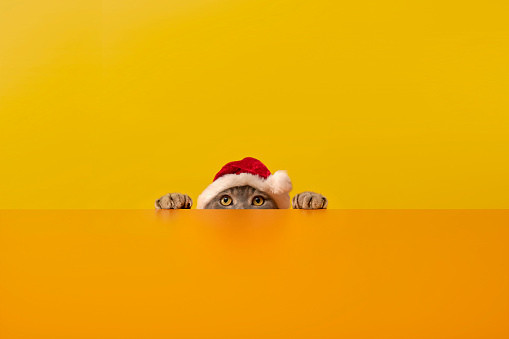 Animal Ear「Big-eyed santa clauses cat behind the desk.Grey color British sort hair cat.」:スマホ壁紙(17)