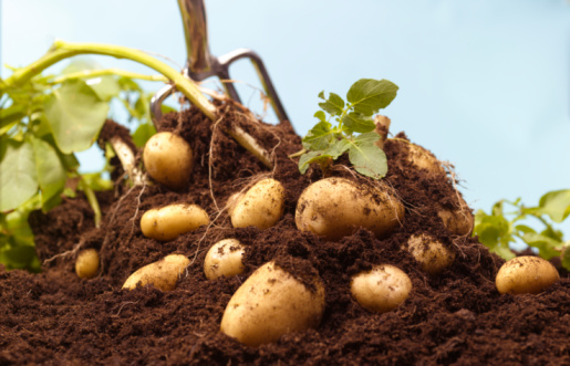 Harvesting「Digging up organic potatoes」:スマホ壁紙(4)