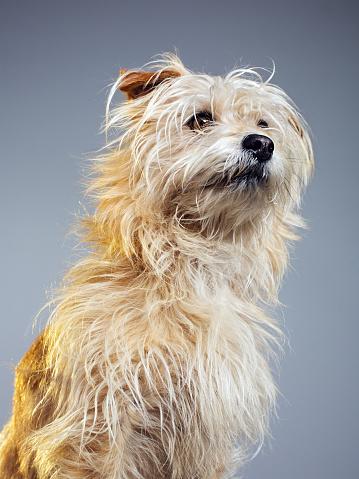 Animal Ear「Golden hairy dog looking away」:スマホ壁紙(4)