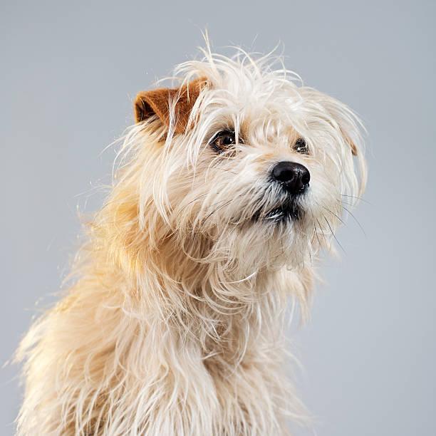 Golden hairy dog studio portrait:スマホ壁紙(壁紙.com)