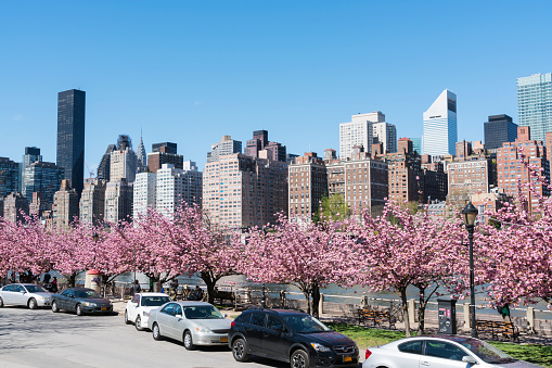 flower「Midtown Manhattan skyscrapers beyond rows of Cherry blossoms trees from Roosevelt Island New York on 2017.」:スマホ壁紙(19)