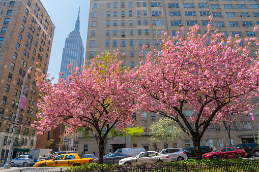 Cherry Blossoms「Midtown Manhattan traffic go through along the full-bloomed Cherry blossoms trees on Park Avenue at Midtown Manhattan New York USA on Apr. 28 2018.」:スマホ壁紙(17)