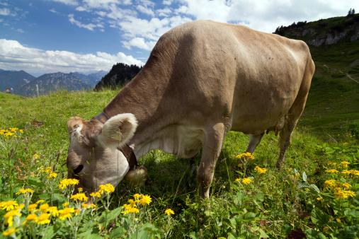 Lech「lucky cow」:スマホ壁紙(17)