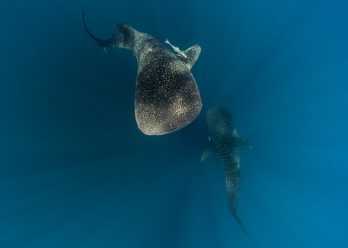 ジンベイザメ「Two whale sharks, Cenderawasih Bay, Papua, Indonesia」:スマホ壁紙(17)