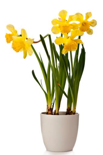 水仙「Daffodils 白背景」:スマホ壁紙(12)