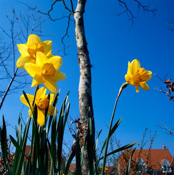 Grass「Daffodils on a new property development」:写真・画像(12)[壁紙.com]