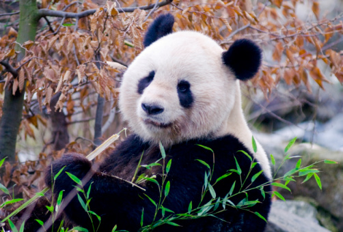 パンダ「最高のパンダ」:スマホ壁紙(7)