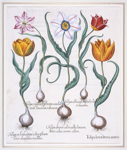 Petal「Tulipa Lutea Lituris Aureis」:写真・画像(12)[壁紙.com]