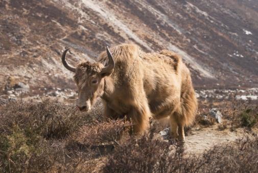 Khumbu「Lone yak outside Dingboche, in the Everest region of Nepal」:スマホ壁紙(11)