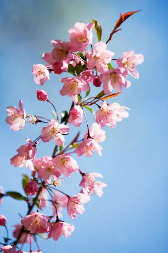 桜「Yoshino Cherry Blossom」:スマホ壁紙(9)