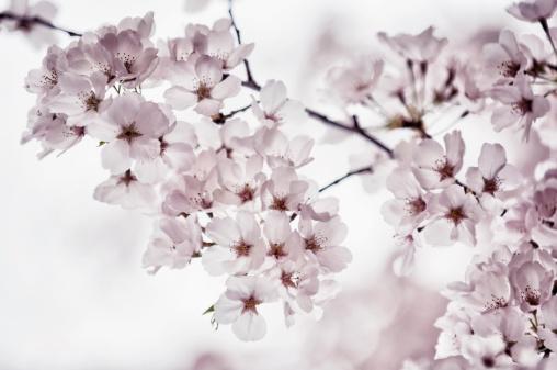 桜「Yoshino Cherry Blossom」:スマホ壁紙(7)