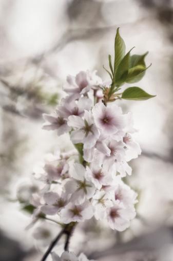 ソメイヨシノ「Yoshino Cherry Blossom」:スマホ壁紙(13)