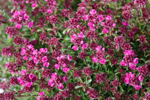 Thyme「?Purple Beauty? (Thymus praecox)」:スマホ壁紙(17)