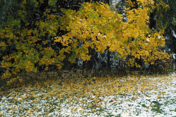 梅の花「Trees with yellow leaves at the skirts of the forest near Kothores in the Austrian Waldviertel at the beginning of winter, The ground is slightly covered with snow, Photograph, Around 2004」:写真・画像(5)[壁紙.com]