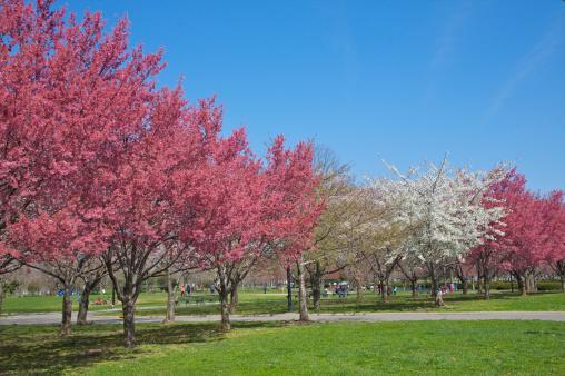 桜「Trees with pink and white buds under blue sky」:スマホ壁紙(15)