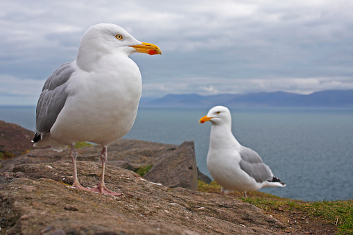 Herring Gull「Seagulls On Slea Head On The Dingle Peninsula; County Kerry Munster Ireland」:スマホ壁紙(13)