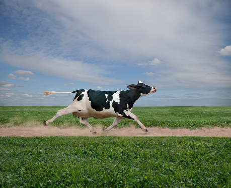 Digital Composite「Cow running on dirt path in crop field」:スマホ壁紙(0)