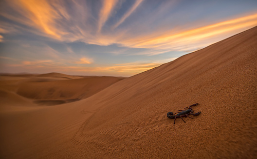 Namibia「Scorpion walking through the desert」:スマホ壁紙(9)