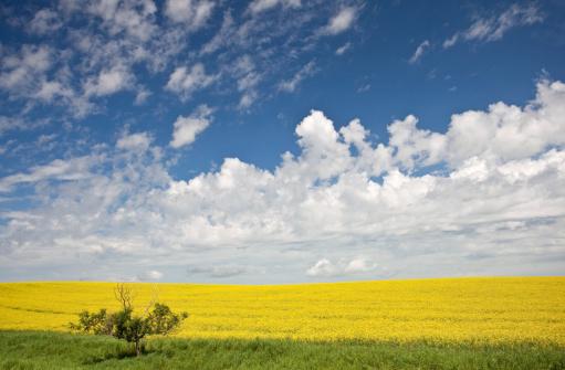 Edmonton「Canola Field」:スマホ壁紙(10)