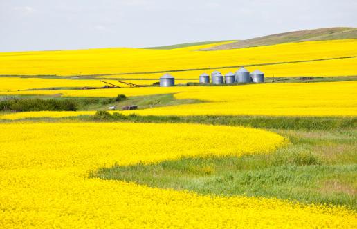 Canola「Canola Field in Alberta」:スマホ壁紙(4)