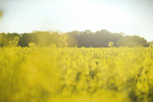 アブラナ「Canola field」:スマホ壁紙(5)