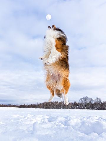 雪玉「Germany, Shetland Sheepdog jumping, snowball」:スマホ壁紙(15)