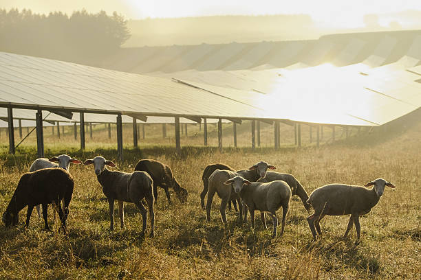 Germany, sheeps grazing on a field with solar panels in the morning light:スマホ壁紙(壁紙.com)