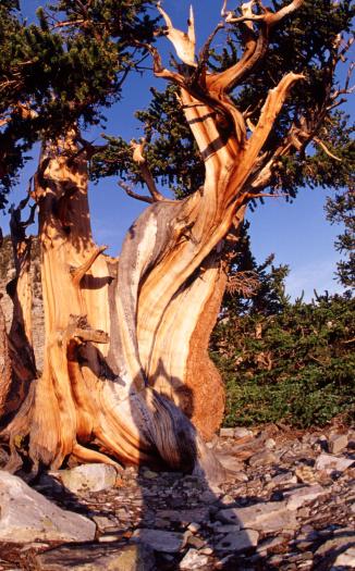 Unrecognizable Person「Hiker's shadow on ancient bristlecone pine」:スマホ壁紙(11)