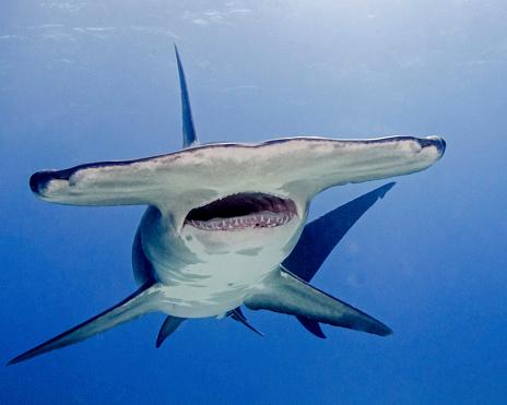 Furious「Great hammerhead shark with mouth open, Tiger Beach, Bahamas.」:スマホ壁紙(12)