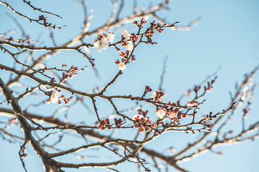 Apricot Tree「Bulgaria, twigs of blossoming apricot tree」:スマホ壁紙(11)