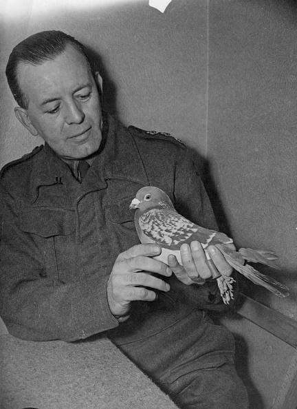 Animal「British Army Pigeon」:写真・画像(3)[壁紙.com]