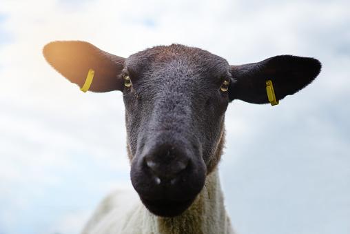 Goat「Did someone say hay?」:スマホ壁紙(13)