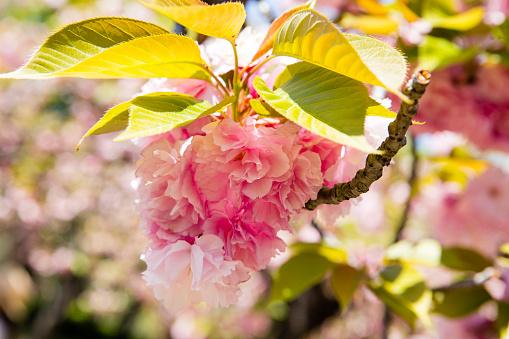 Japan「Close up detail of Japanese Cheery Blossom known in Japan as Sakura」:スマホ壁紙(15)