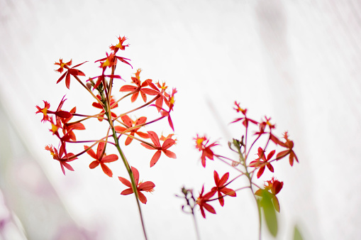 花「Epidendrum ibaguense flower repetition」:スマホ壁紙(14)