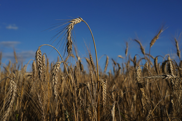 Agricultural Field「Grain Harvest Underway Across Germany」:写真・画像(12)[壁紙.com]