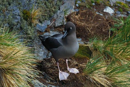 Falkland Islands「Light-Mantled Albatross」:スマホ壁紙(11)