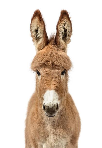 Provence donkey foal isolated on white:スマホ壁紙(壁紙.com)