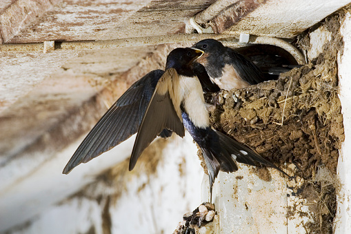 Barn Swallow「Swallow Feeding her Chick」:スマホ壁紙(16)