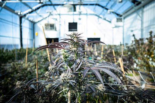 Harvesting「Majijuana plants ready to harvest」:スマホ壁紙(7)