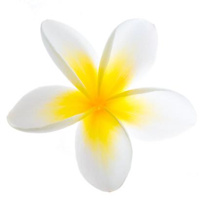 プルメリア「フランジパニの花」:スマホ壁紙(8)