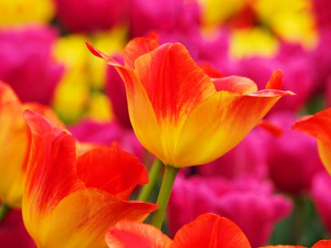 Keukenhof Gardens「Yellow and red tulip (Tulipa) in Keukenhof Garden, Lisse, South Holland, Netherlands」:スマホ壁紙(19)